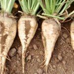 Cukorrépáról – A termelők helyzete (-2)